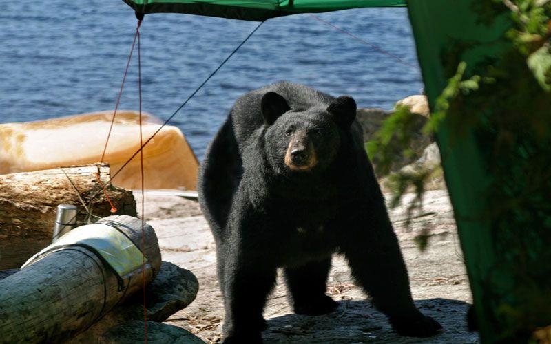 Black Bear Safety Tips Camping safety, Bear safety