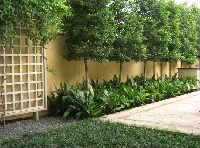 Privacy Trees For Small Yards - torrestreeservicellc in ...