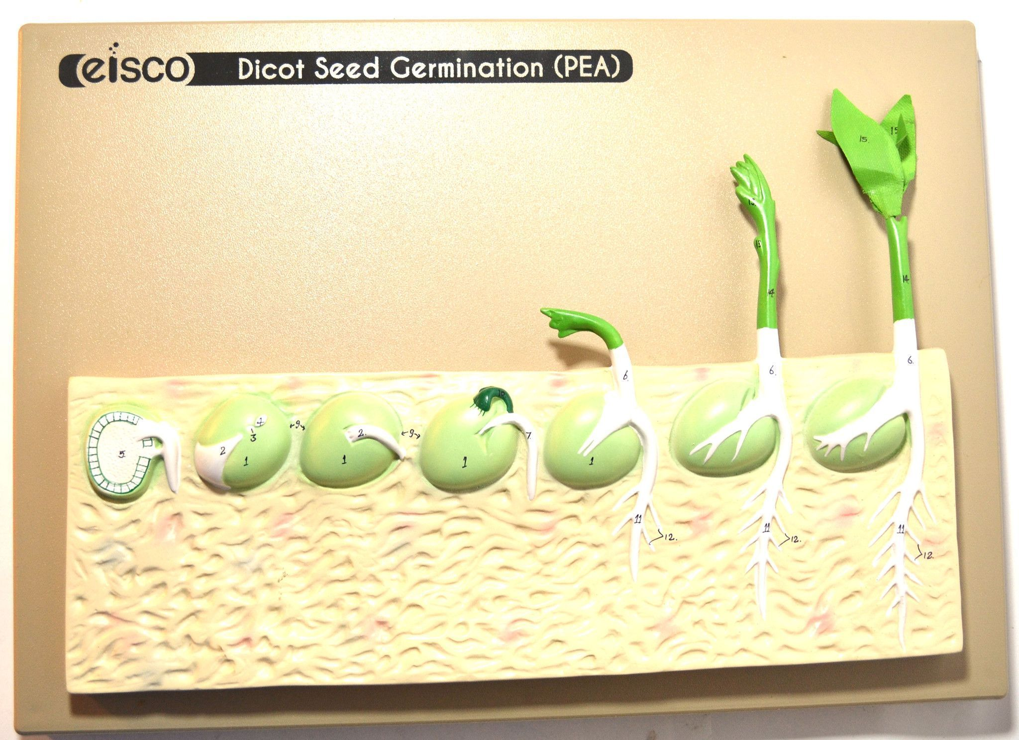 Eisco Labs Seed Germination Model Pea On Base 14 Inches