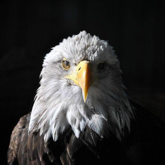 Sam Eagle 4 Eagle Bald Eagle Prey