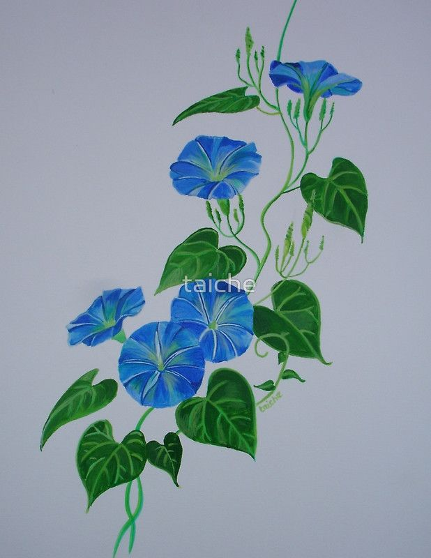 Blue Bindweed By Taiche Watercolor Paintings For Beginners Blue Morning Glory Botanical Illustration