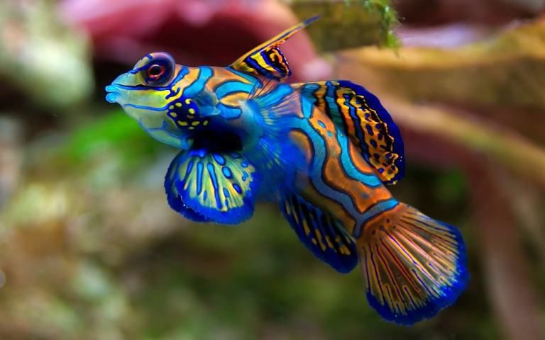 the mandarinfish or mandarin dragonet _ is probably the most colorful aquarium fish in the world it is scientifically named synchiropus splendidus - Colorful Fish Book