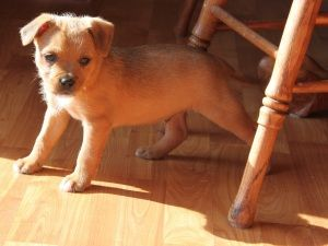 Adopt Mikey On Boxer Mix Puppies
