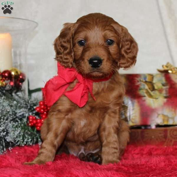 Homer - Goldendoodle-Miniature Puppy For Sale in