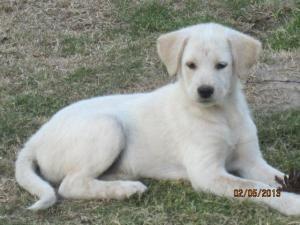 Adopt Olivia On Labrador Retriever Dog Save A Dog Retriever Puppy