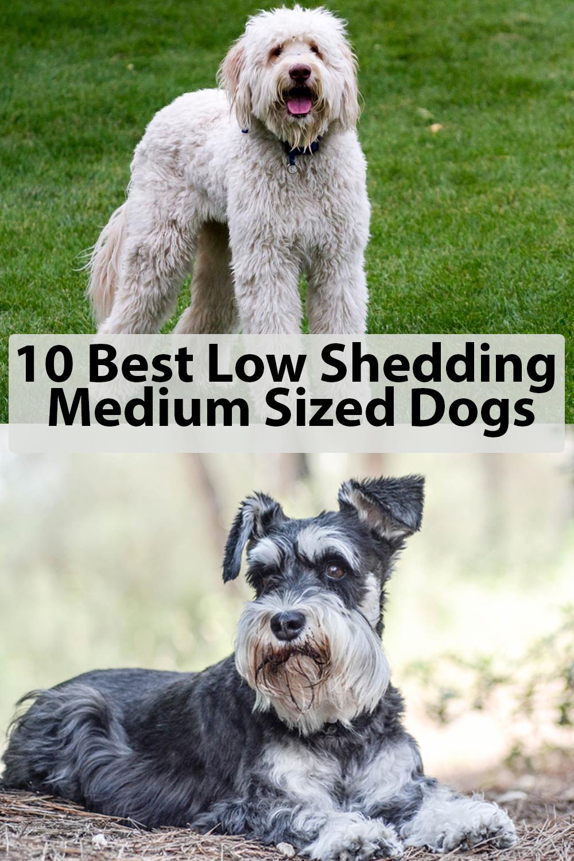 10 Best Low Shedding Medium Sized Dogs Dog Breeds Medium Dog Breeds That Dont Shed Low Shedding Dog Breeds