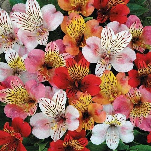 Peruvian Lily Hybrid Mix Flower Seeds Alstroemeria Hybrida Dr Salters Mix 15 Seeds Flower Seeds Peruvian Lilies Flowers