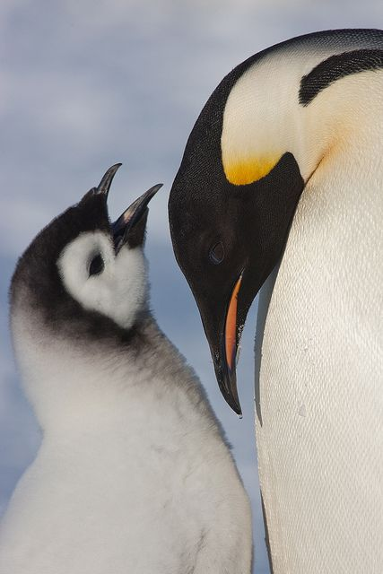 parent and child #penguins
