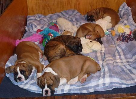 Encore Boxers Puppies in 2020 Puppies, Boxer puppies
