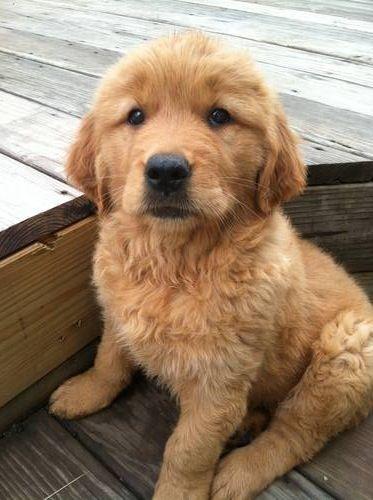 Golden Puppy Love This Face Follow Rushworld On Pinterest New