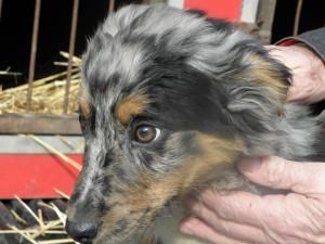 Jesse Jan 19 Is An Adoptable Australian Shepherd Dog In Whitby