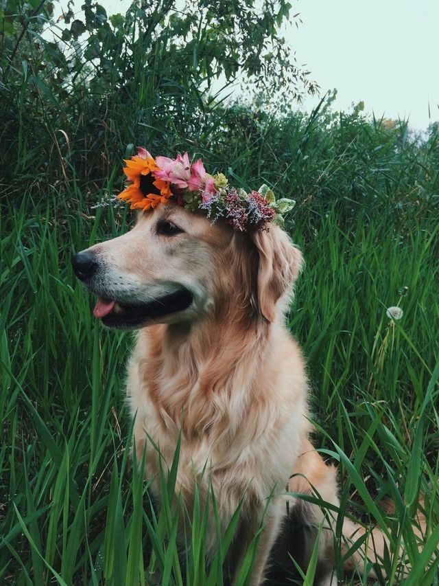 Golden Retriever With Flower Crown Puppies Cute Animals Cute Dogs