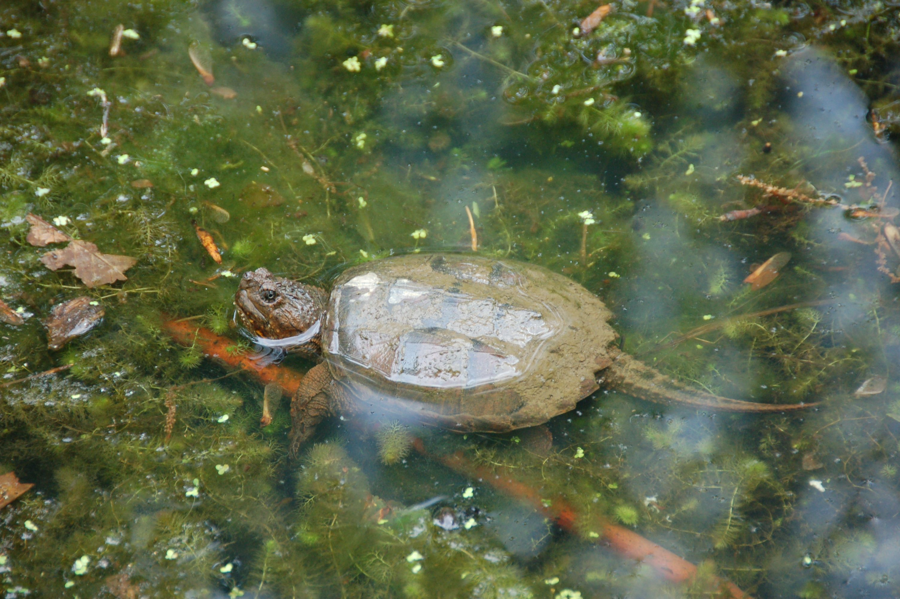 Brookside Gardens young snapping turtle by littlereview