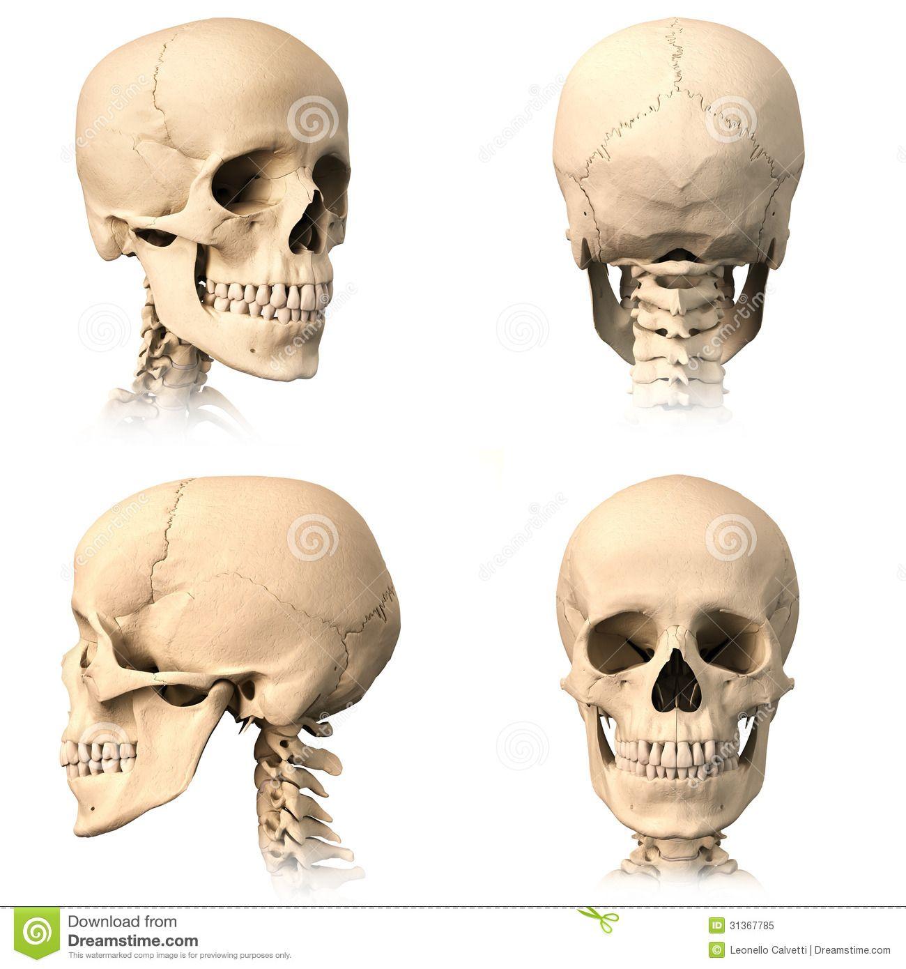 человеческий череп - Поиск в Google | SKULLS | Pinterest