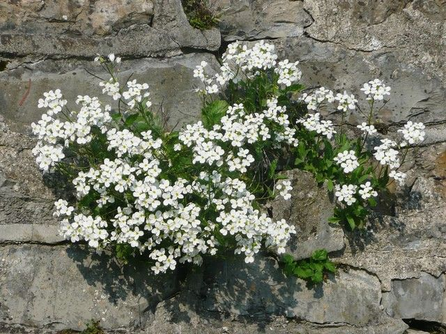 White rock cress landscape pinterest rock yards and gardens dictionary of flowers for container gardening aubrieta also known as rock cress is a delicate white or purple flower which resembles tiny daisies mightylinksfo Gallery