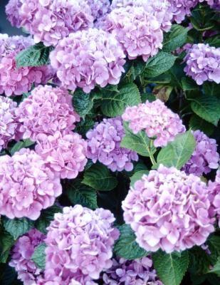 How To Prune Hydrangea Plants And Hydrangea Bushes Ehow Hydrangea Potted Planting Hydrangeas Hydrangea Flower