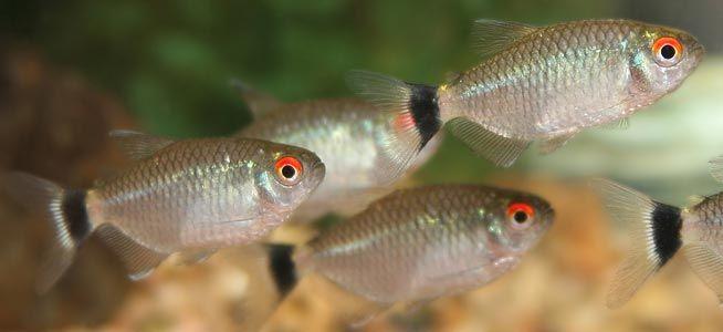 Fish Profile Red Eye Tetra Tetra Fish Aquarium Fish Neon Tetra Fish