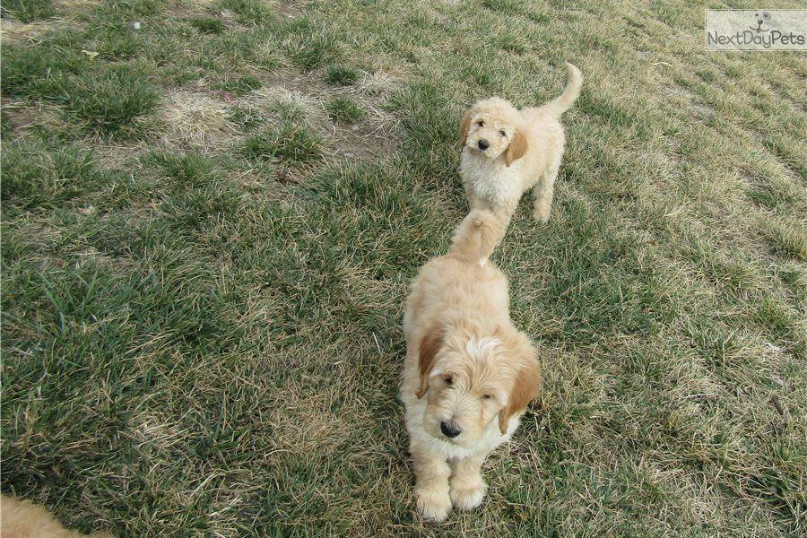 Nutmeg Goldendoodle Puppy For Sale Near Manhattan Kansas