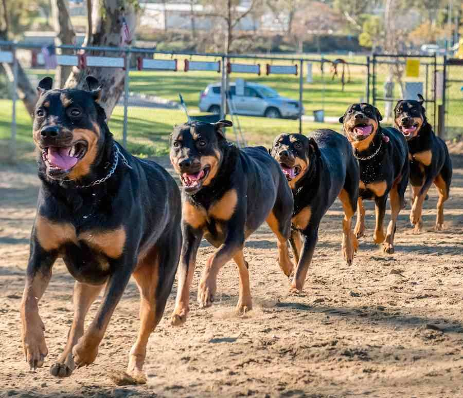Rottweiler Dog With Strongest Bite Pressure With Images