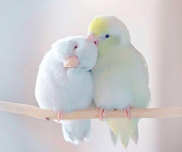 160 Ideas De Lovebirds Periquitos Loros Aves De Compañía