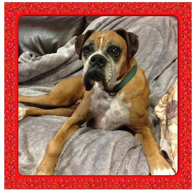 Oscar is an 8 yr old Purebred Boxer who was rescued with