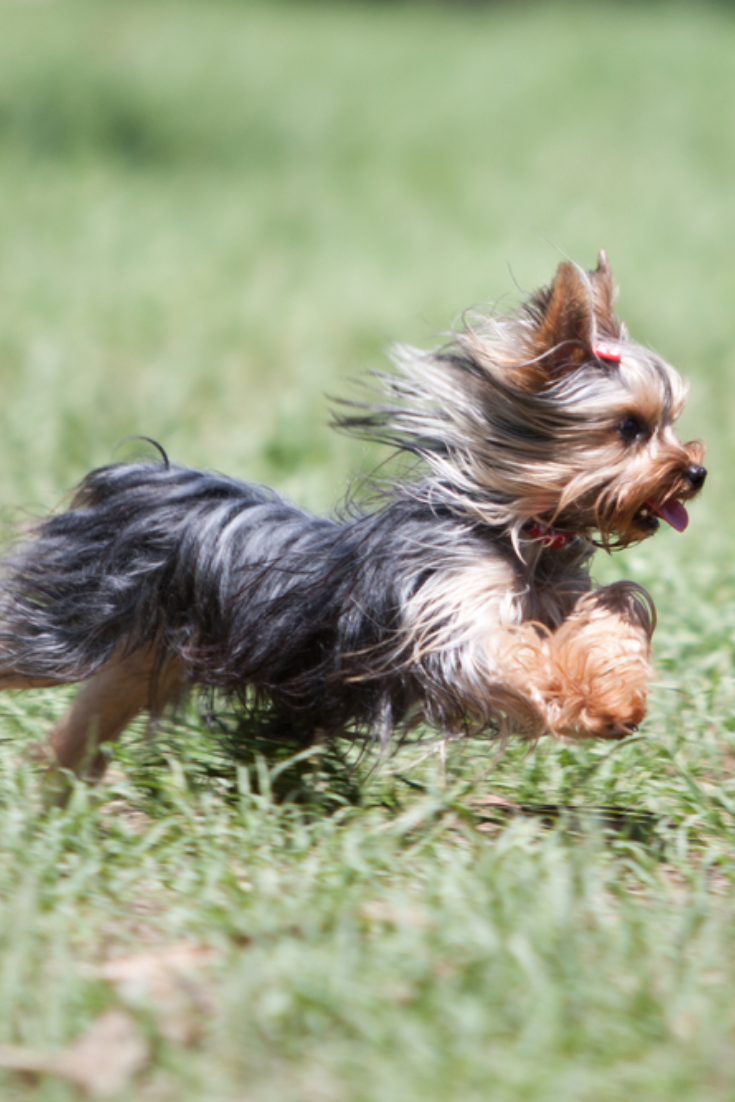 Yorkshire Happy Running Yorkshireterrier In 2020 Yorkshire Terrier Yorkshire Terrier Puppies Terrier