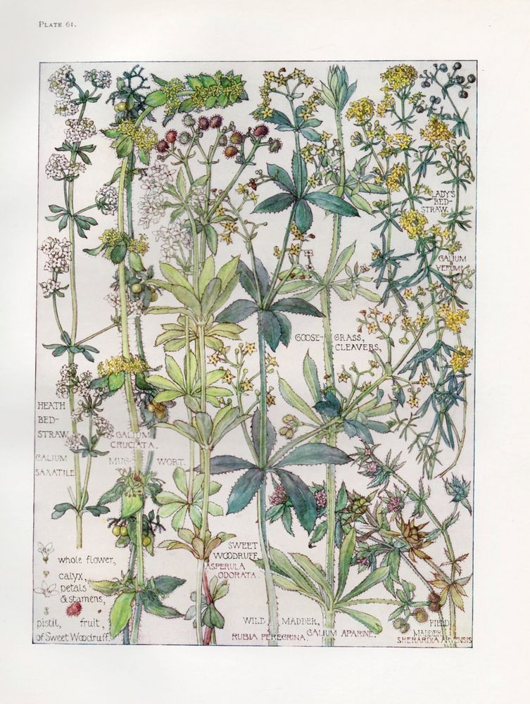 Lady s Bedstraw- Wild Flower Botanical Print by Isabel Adams - Antique Print