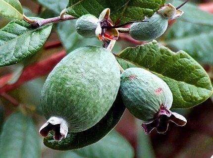 Frutti dell'Acca sellowiana