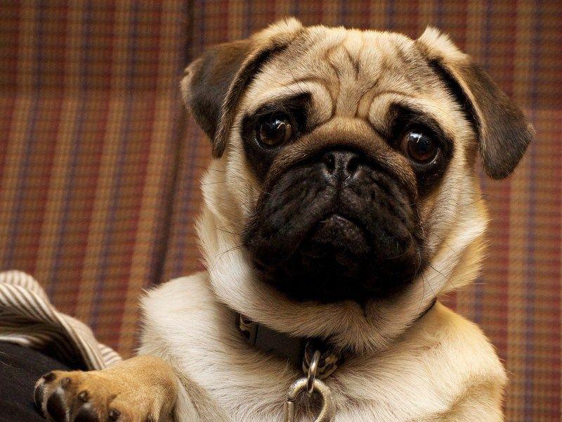 What Is Pug Myelopathy Wrinkly Dog Dog Breeds Calm Dog Breeds