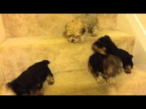 Yorkie Poo Puppies For Rehome This Incredibly Tiny And Adorable Puppies Looking For A New Home Tiny Adoption Yorkie Poo Yorkie Poo Puppies Yorkie