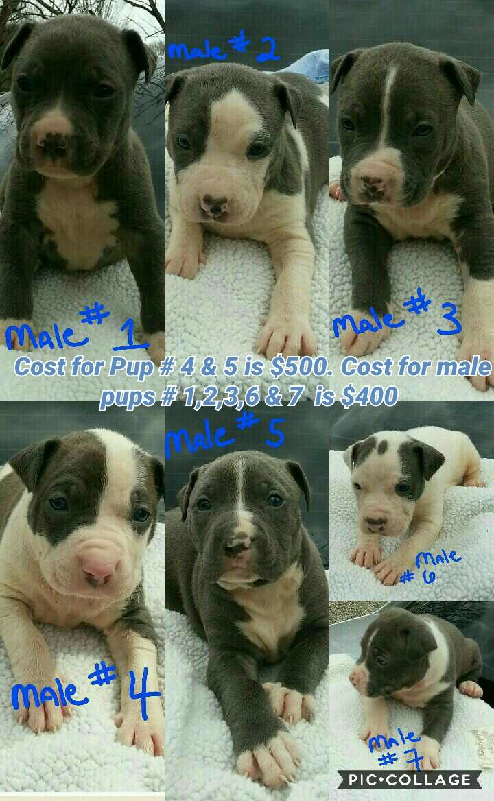 Blue pitbull pups | pitbulls / bully puppies for sale in Tennessee