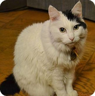 Issaquah Wa Turkish Angora Meet Ella A Cat For Adoption With Images Cat Adoption Kitten Adoption