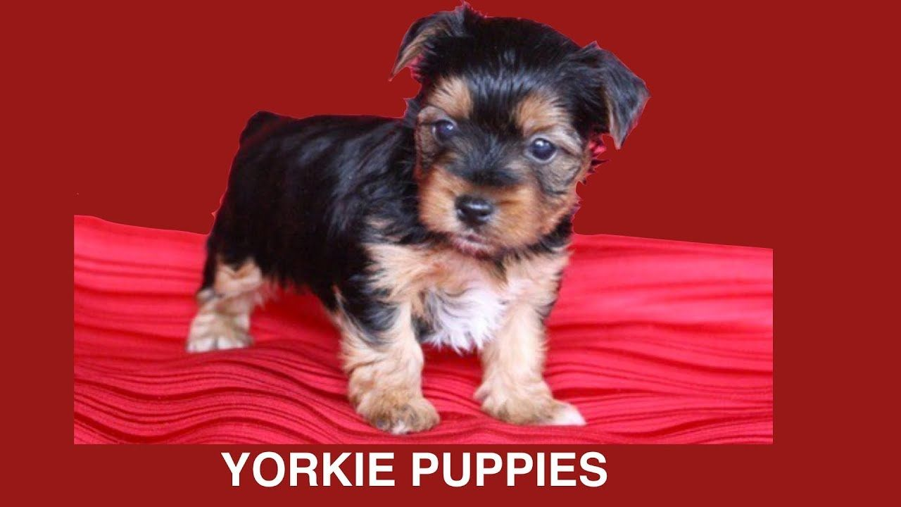 Yorkshire Terrier Puppies Whelping 6 Wks Old Diy Dog Food Fun By Cooking For Dogs York Yorkielif In 2020 Yorkshire Terrier Puppies Terrier Puppies Yorkie Puppy