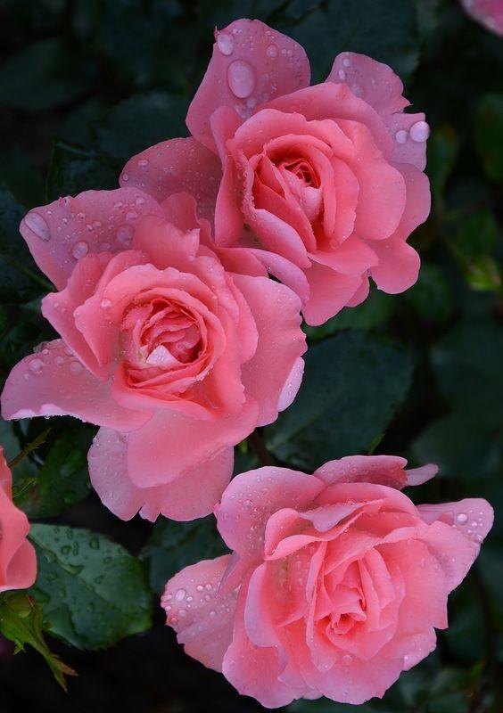 Яндекс.Фотки переехали   Красивые розы, Розы, Цветы