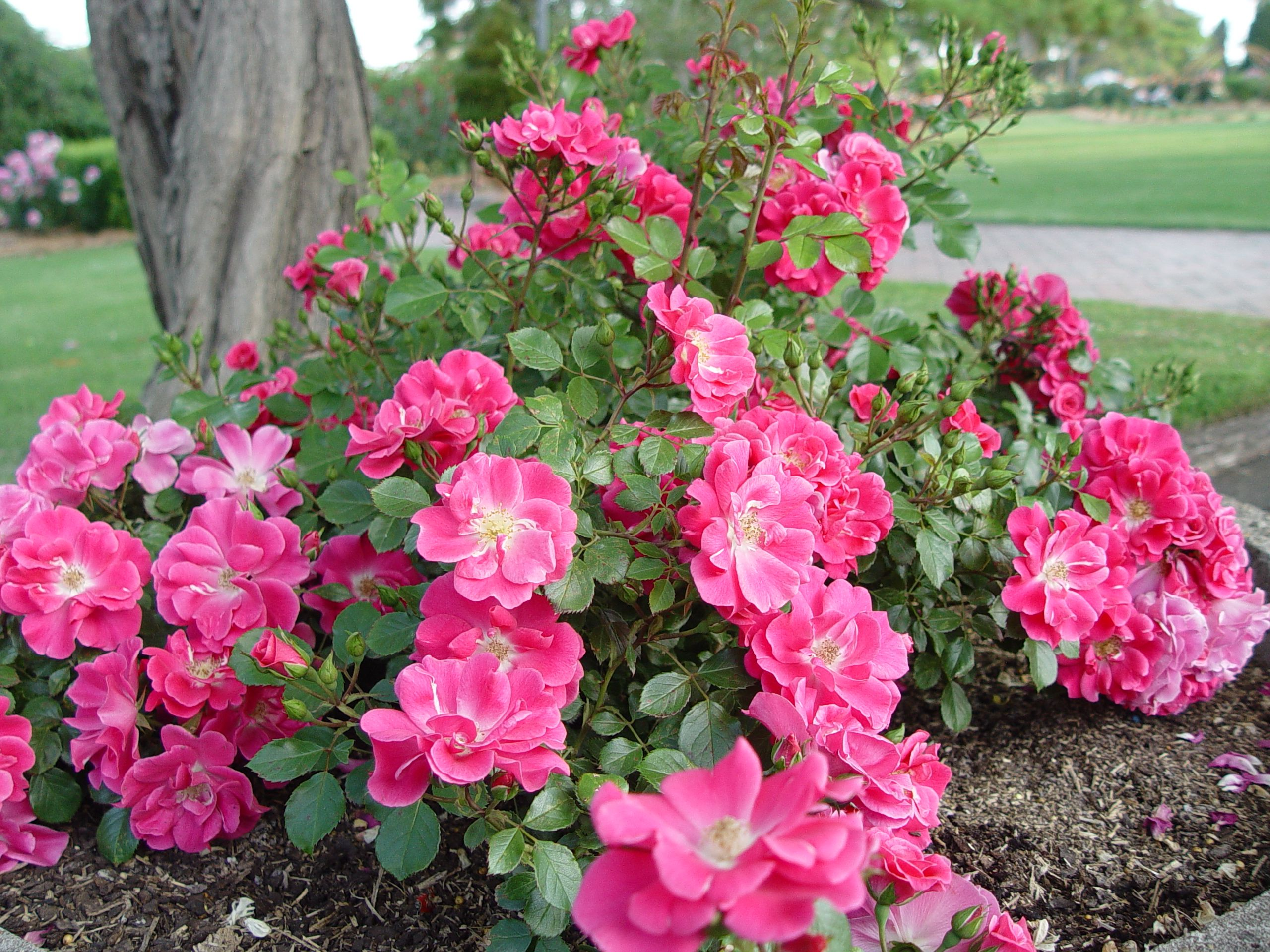 Magic carpet beach blanket spray free landscape rose from swanes spray free landscape rose from swanes we say superior to pink flower carpet dhlflorist Image collections