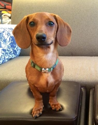 Duck The Dog Comes Home Manhattan New York Ny Local News Dogs Wiener Dog Sausage Dog