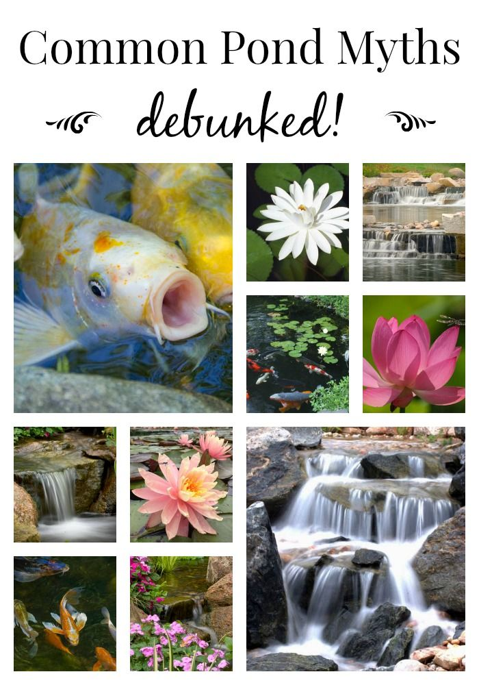 Pond myths ponds ponds backyard goldfish pond small for Small pond care