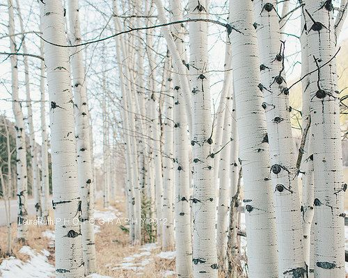 Birchwood Trees Aspen Travel Photography Nature By Dreamyphoto Pillows Decorative Pillow Covers Natural Home Decor
