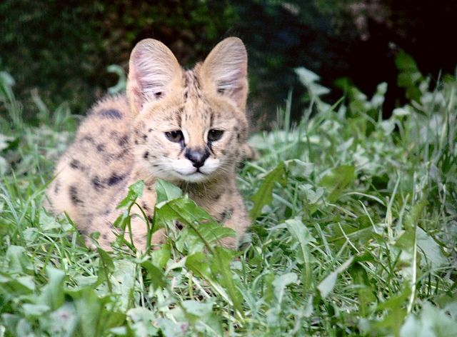 Attentive serval african wild cat serval cat species and cat african serval wild cat recent photos the commons getty collection galleries world map app gumiabroncs Image collections