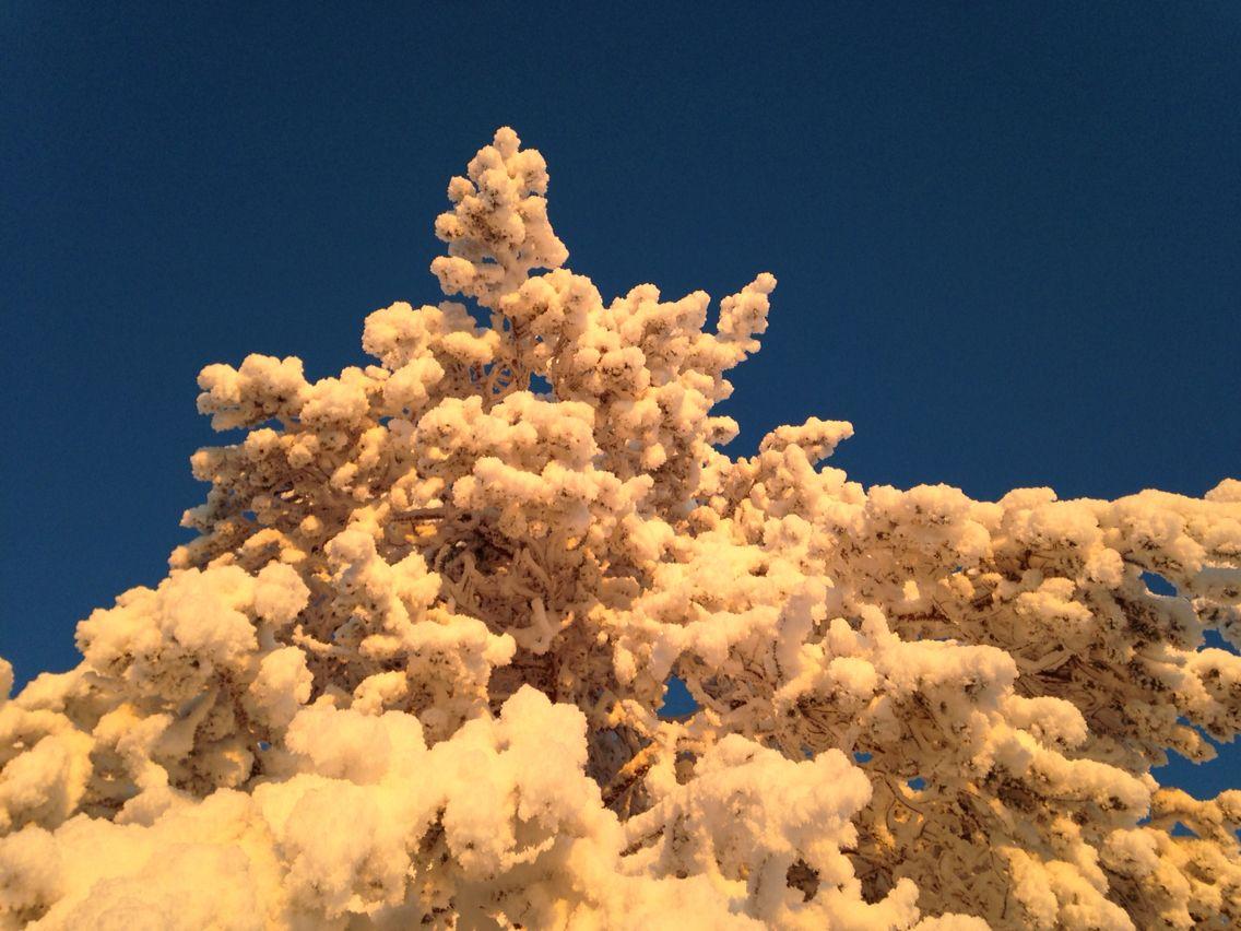 Luminen puu Syötteellä paukkuvassa pakkasessa.