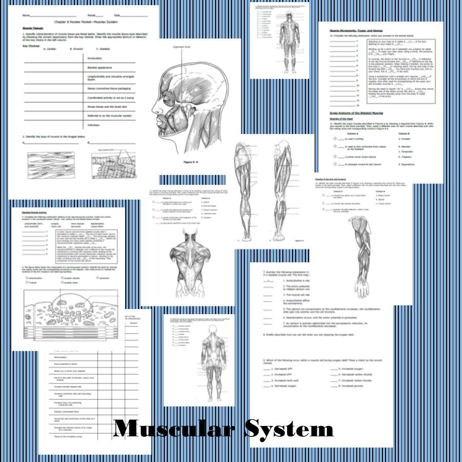 muscular system: human body systems | muscular system, Muscles