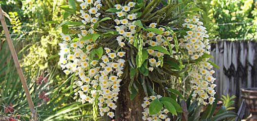 Growing Orchids On Trees Dendrobium Farmeri Attached To A