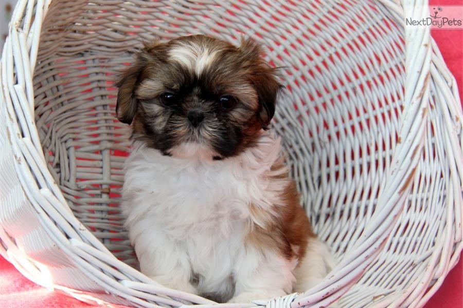 Rayna Shih Tzu Shih Tzu Puppy For Sale Near Lancaster