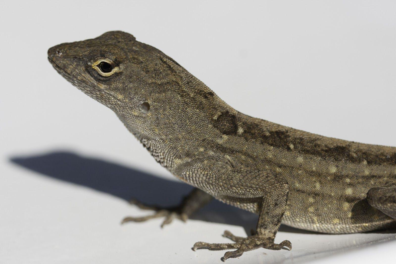 hawaii+geckos Brown Anole ( Anolissagrei ) Lizard