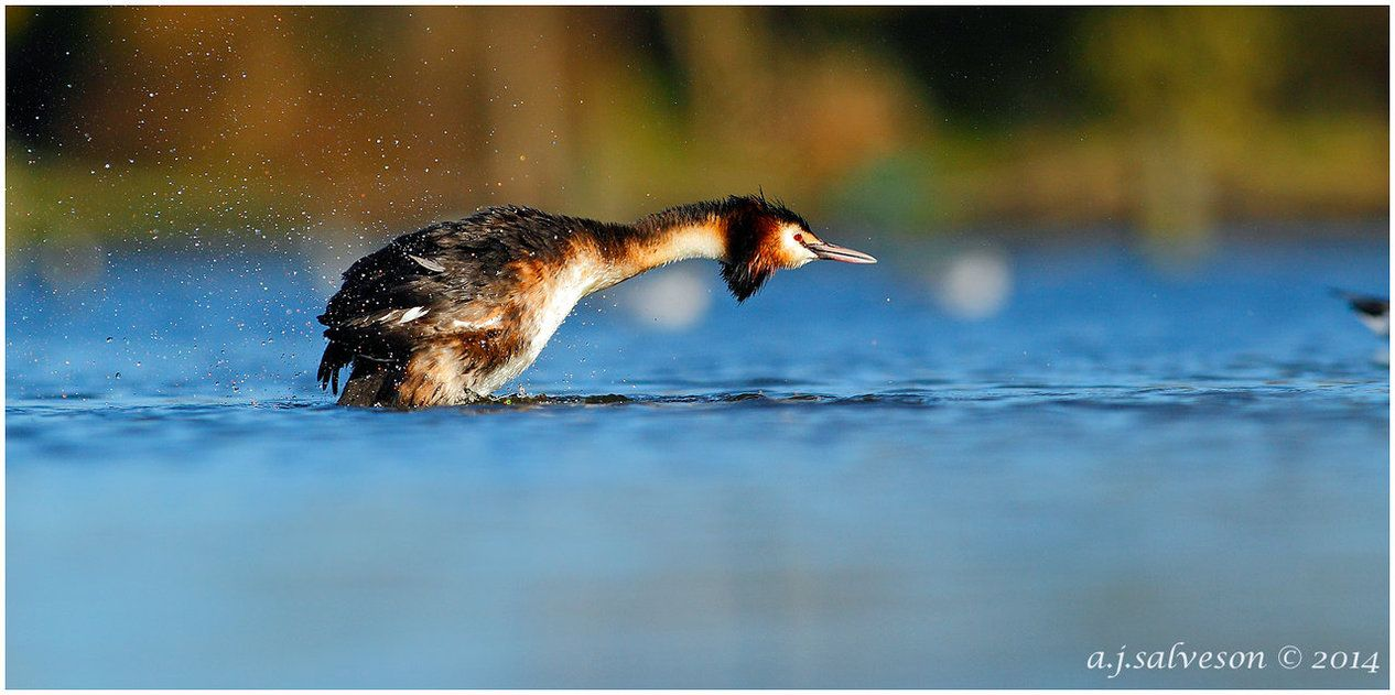 Great Crested Grebe. by andy-j-s on DeviantArt
