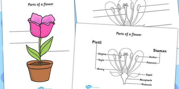Parts of a Plant and Flower Labelling Worksheet – Structure of a Flower Worksheet
