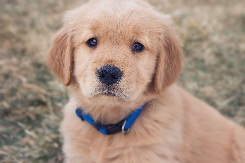 English Cream White Golden Retriever Puppy Retriever Puppy
