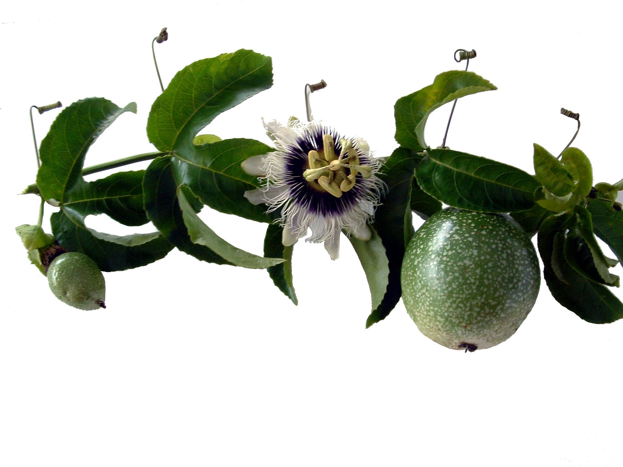 The Passion Flower Passion Fruit Juice Passion Flower Unusual Flowers