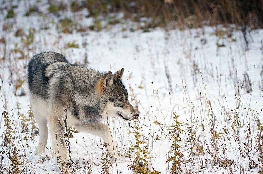 grey wolf essay The grey wolf is known as the timber wolf in north america and the white wolf in the arctic, or more generally as the common wolf wolves are legendary because of their spine-tingling howl, which they use to communicate.