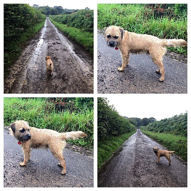 Pin By Marianne Spacht On Border Terriers Border Terrier Brown